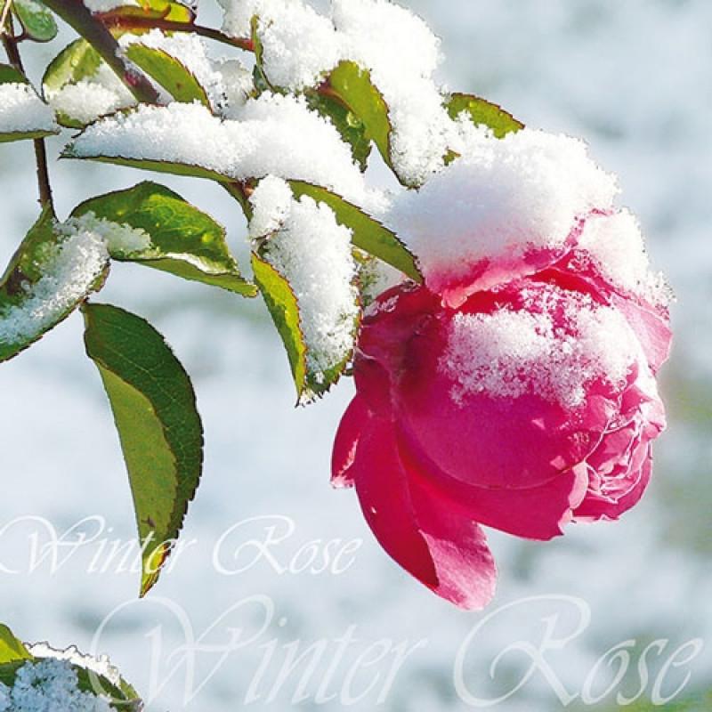 ambiente servietten winter rose rosa blume im schnee. Black Bedroom Furniture Sets. Home Design Ideas